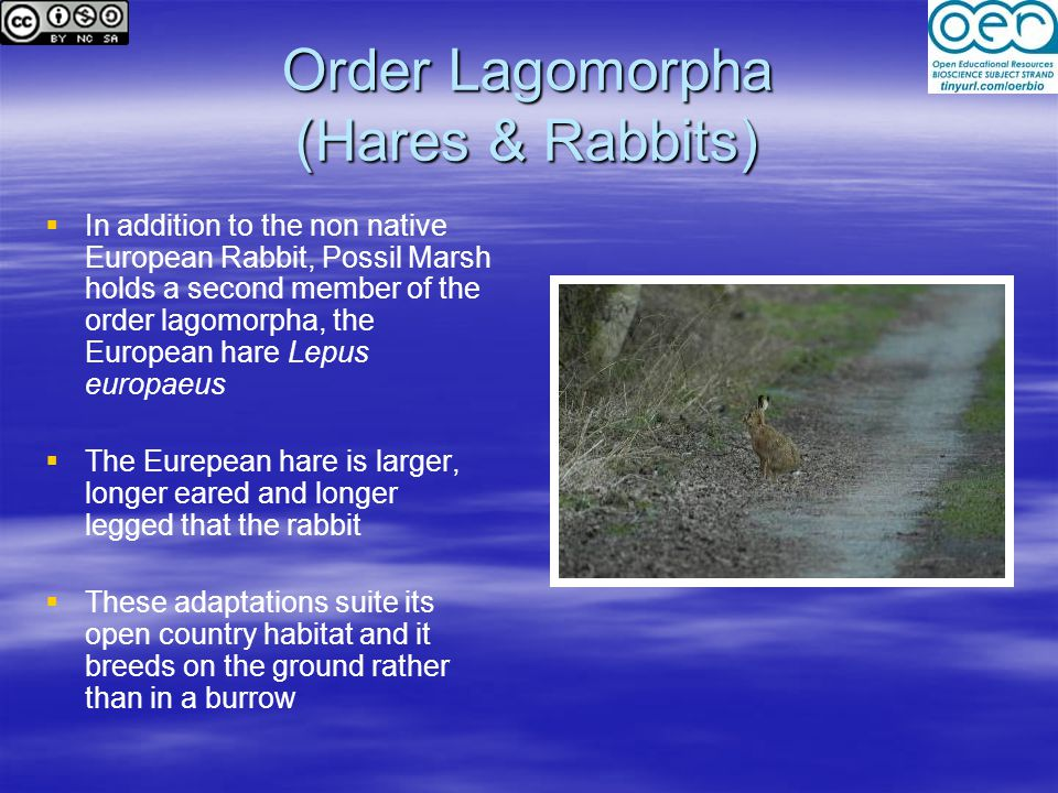 Order Lagomorpha (Hares & Rabbits)   In addition to the non native European Rabbit, Possil Marsh holds a second member of the order lagomorpha, the European hare Lepus europaeus   The Eurepean hare is larger, longer eared and longer legged that the rabbit   These adaptations suite its open country habitat and it breeds on the ground rather than in a burrow