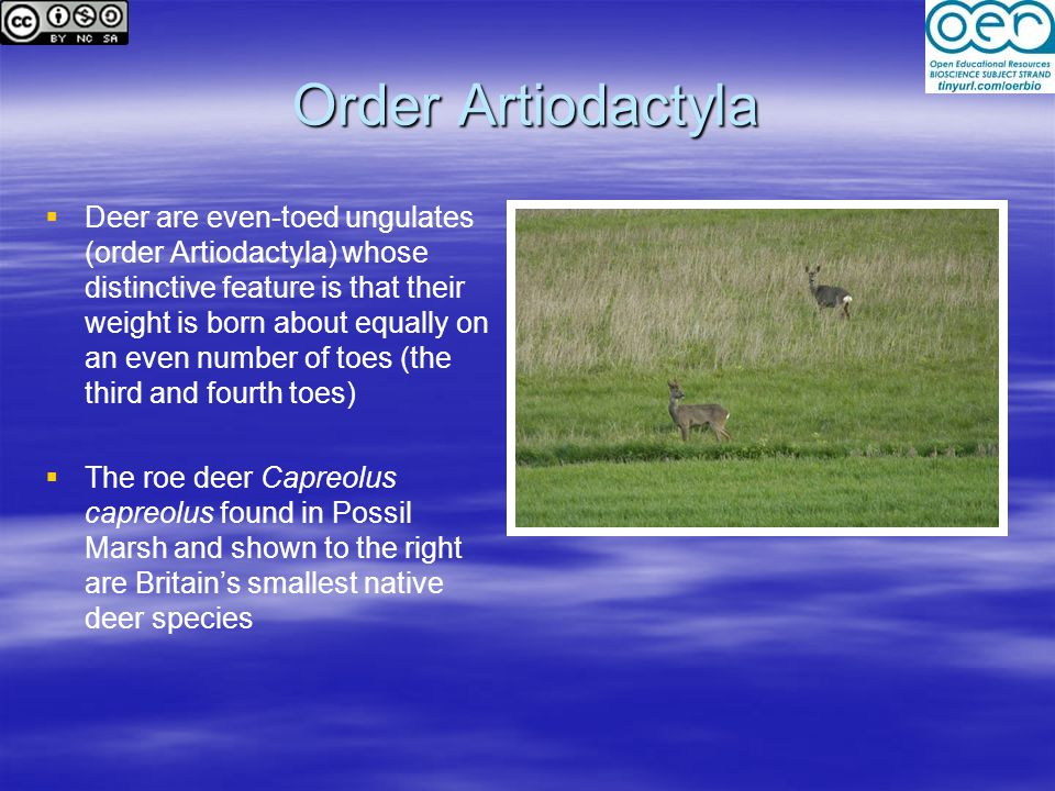 Order Artiodactyla   Deer are even-toed ungulates (order Artiodactyla) whose distinctive feature is that their weight is born about equally on an even number of toes (the third and fourth toes)   The roe deer Capreolus capreolus found in Possil Marsh and shown to the right are Britain's smallest native deer species