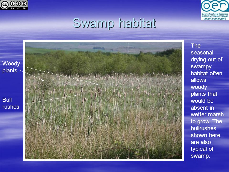 Swamp habitat The seasonal drying out of swampy habitat often allows woody plants that would be absent in wetter marsh to grow.