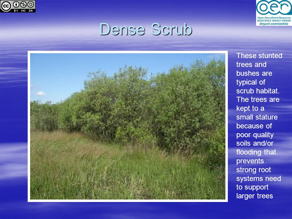 Dense Scrub These stunted trees and bushes are typical of scrub habitat.