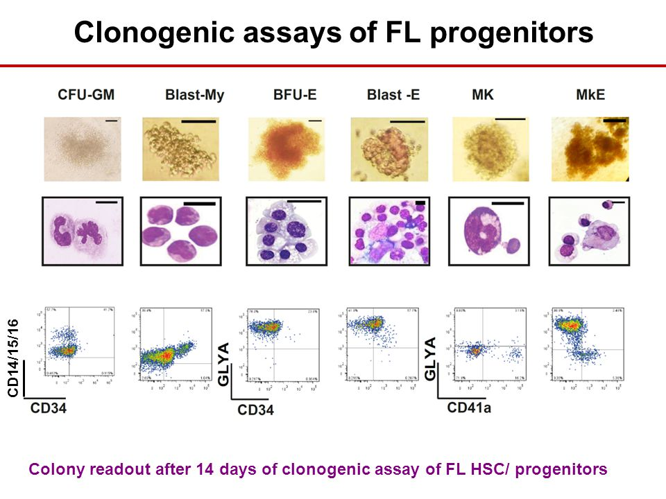 CD14/15/16 Clonogenic assays of FL progenitors Colony readout after 14 days of clonogenic assay of FL HSC/ progenitors