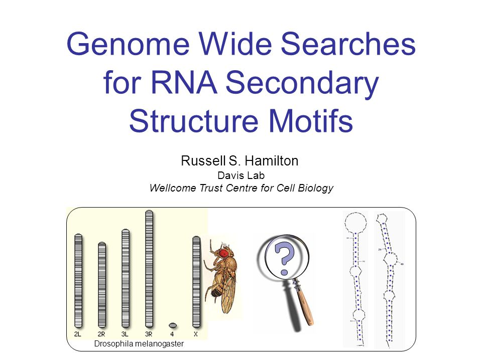 Genome Wide Searches for RNA Secondary Structure Motifs Russell S.