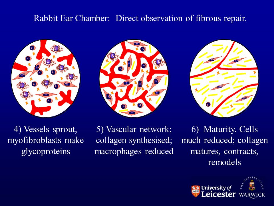 Rabbit Ear Chamber: Direct observation of fibrous repair.