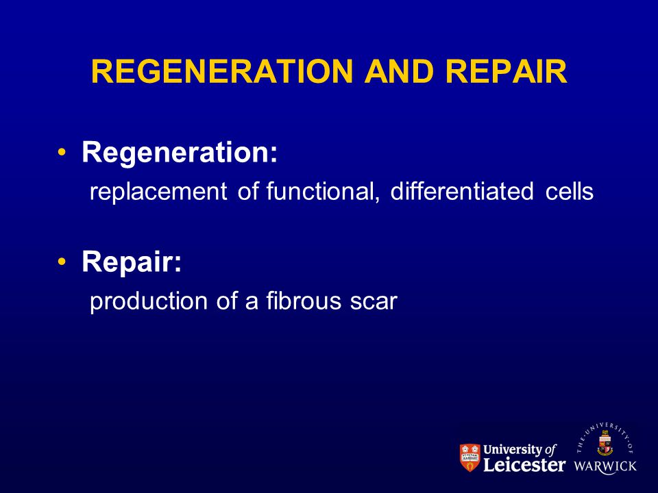 REGENERATION AND REPAIR Regeneration: replacement of functional, differentiated cells Repair: production of a fibrous scar