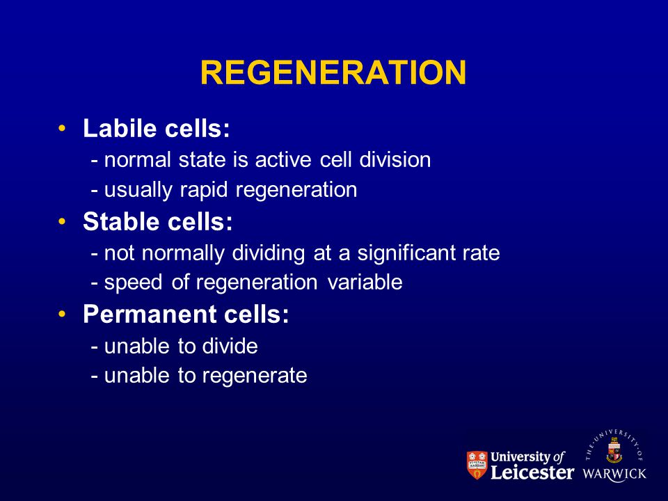 REGENERATION Labile cells: - normal state is active cell division - usually rapid regeneration Stable cells: - not normally dividing at a significant rate - speed of regeneration variable Permanent cells: - unable to divide - unable to regenerate