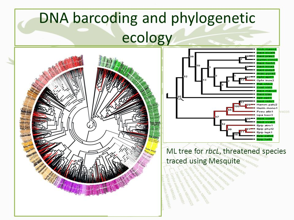 DNA barcoding and phylogenetic ecology ML tree for rbcL, threatened species traced using Mesquite