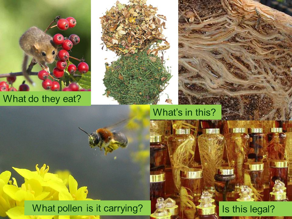What do they eat? Is this legal? What pollen is it carrying? What's in this?