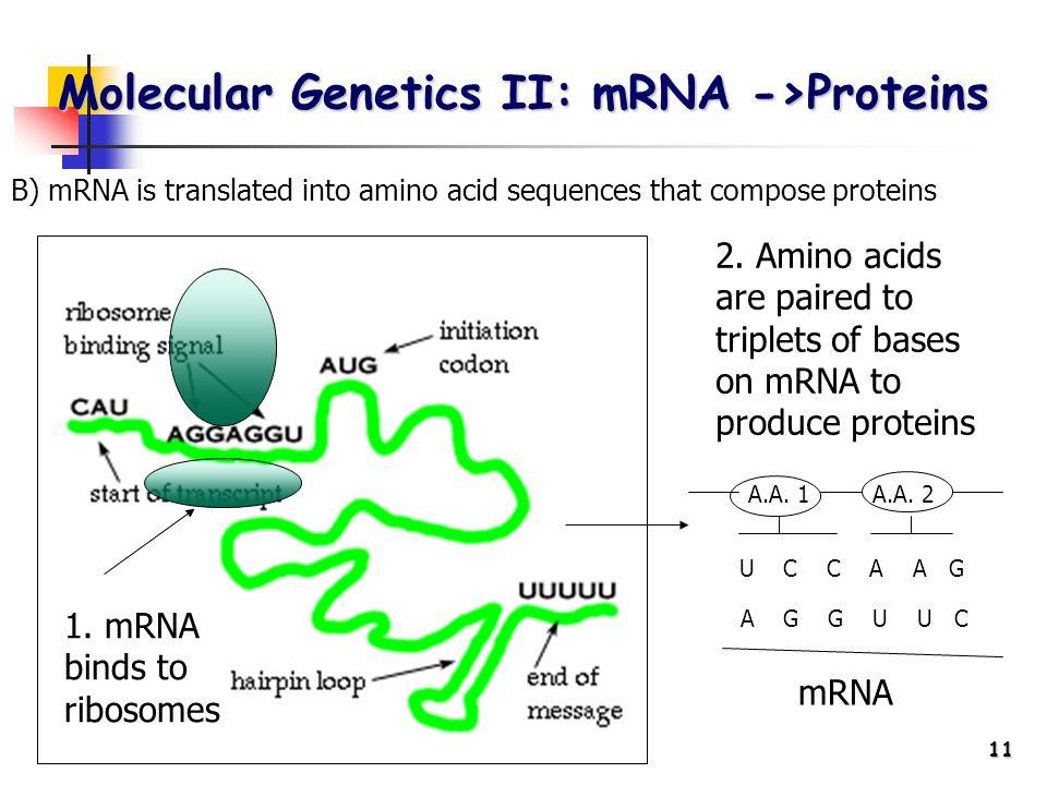 11 Molecular Genetics II: mRNA ->Proteins 1. mRNA binds to ribosomes 2.