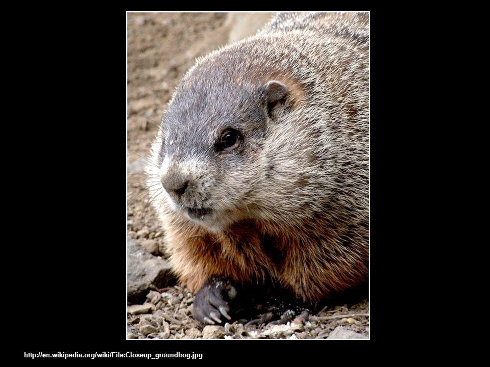 http://en.wikipedia.org/wiki/File:Closeup_groundhog.jpg