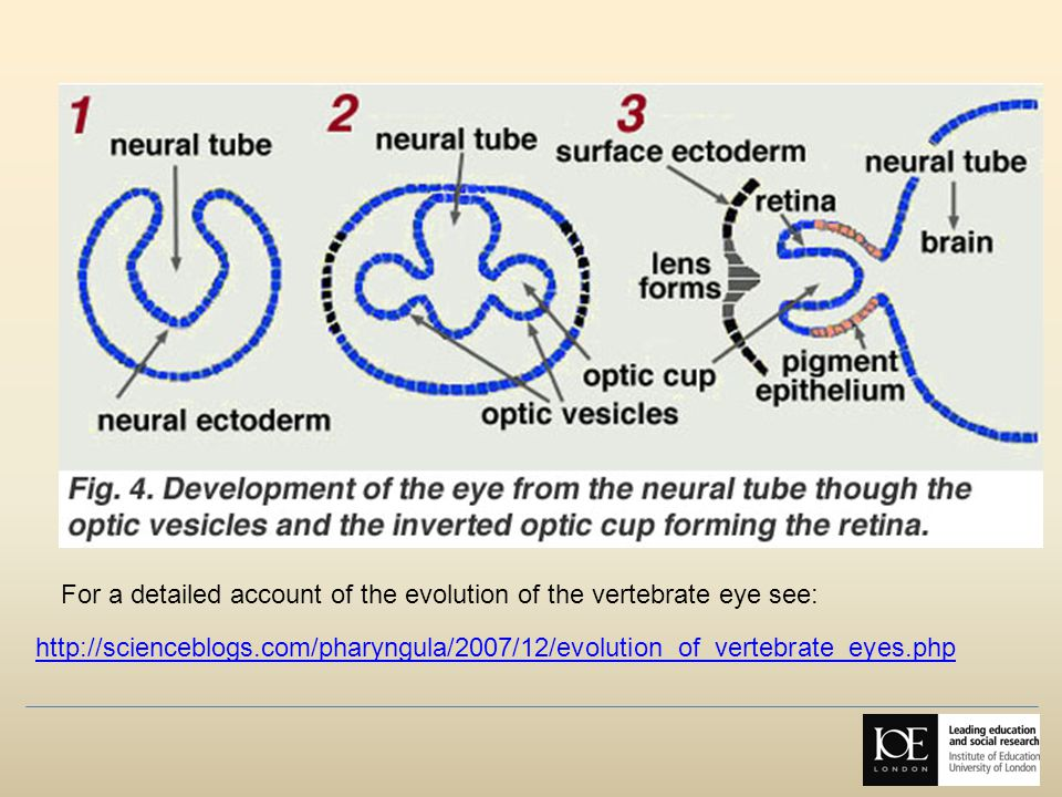 http://scienceblogs.com/pharyngula/2007/12/evolution_of_vertebrate_eyes.php For a detailed account of the evolution of the vertebrate eye see: