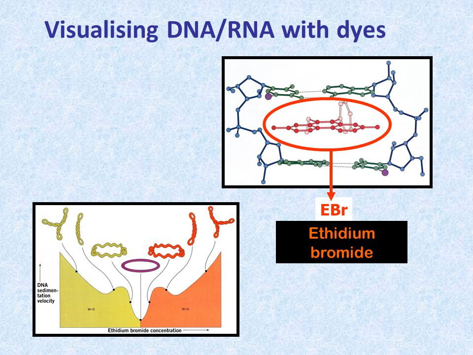 Visualising DNA/RNA with dyes Ethidium bromide EBr