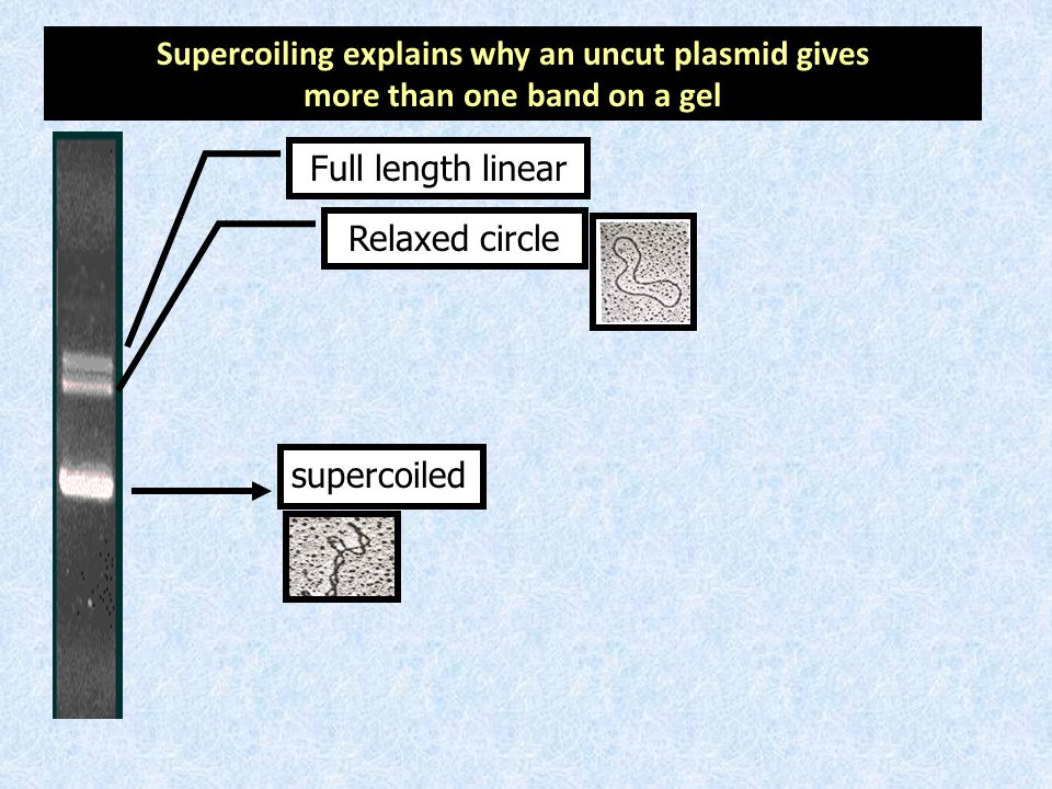 supercoiled Relaxed circle Full length linear Supercoiling explains why an uncut plasmid gives more than one band on a gel