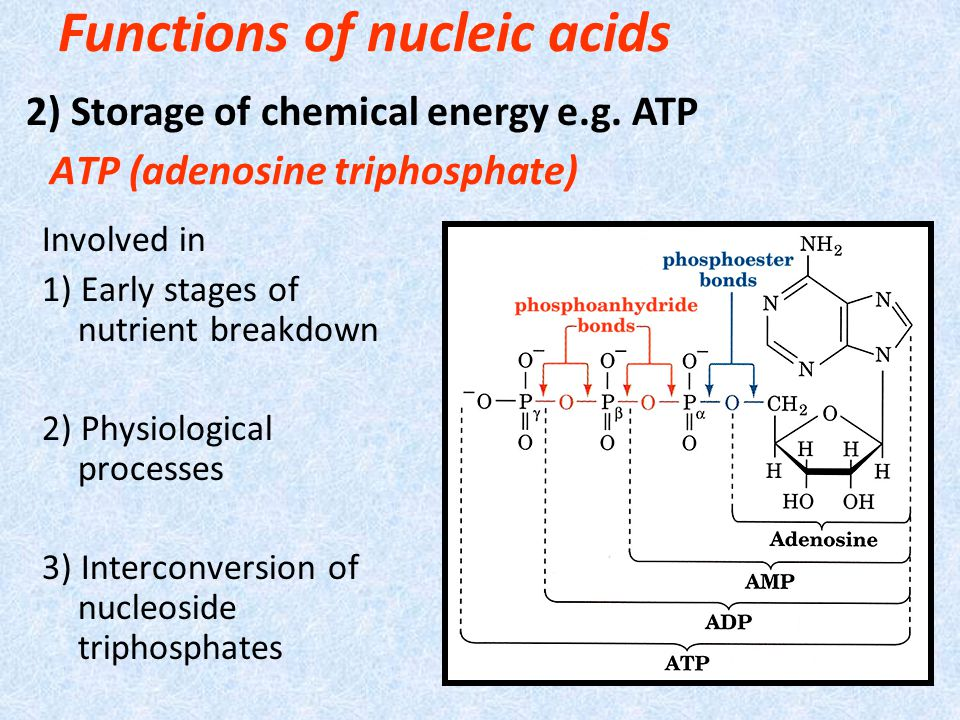 ATP (adenosine triphosphate) Involved in 1) Early stages of nutrient breakdown 2) Physiological processes 3) Interconversion of nucleoside triphosphates Functions of nucleic acids 2) Storage of chemical energy e.g.