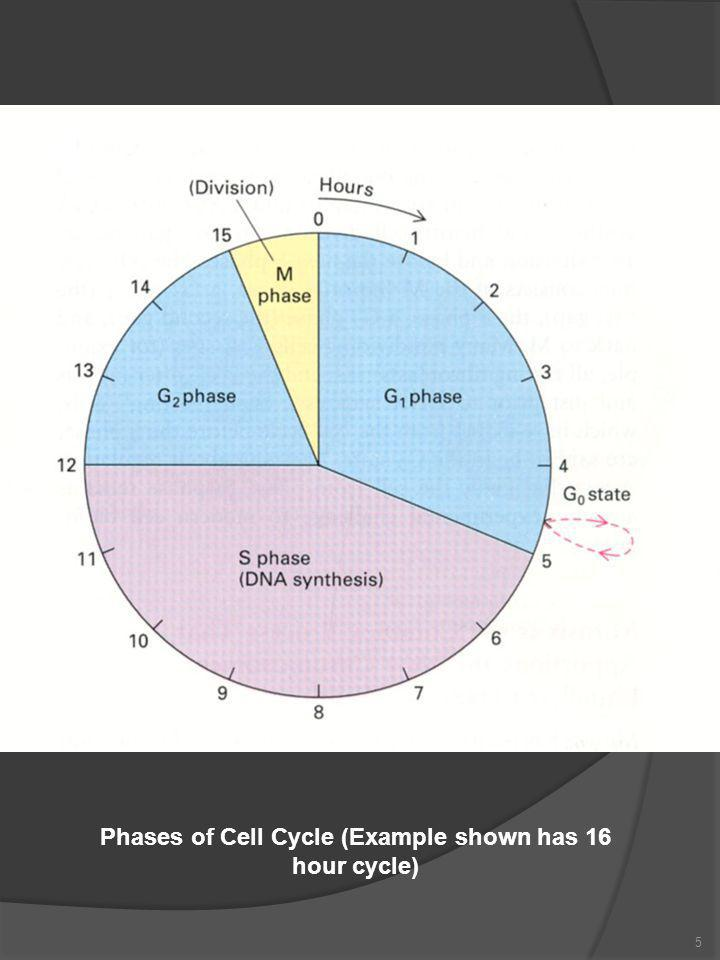6 Mitosis  Cell division is subdivided into 6 stages, 5 of which are termed mitosis  1 Prophase G 2 to M transition DNA and macromolecules have duplicated Chromatin condenses into chromosomes Chromosomes exist a two sister chromatids joined at the centromere Mitotic spindle (microtubules) forms from tubulin Nucleolus starts to disappear  2 Prometaphase Disruption of nuclear envelope Mitotic spindle now enters nuclear area Kinetochore microtubules appear Chromosomes are pulled towards division point  3 Metaphase Chromosomes halfway between spindle poles Each chromosome is held in tension at metaphase plate by kinetochore fibres