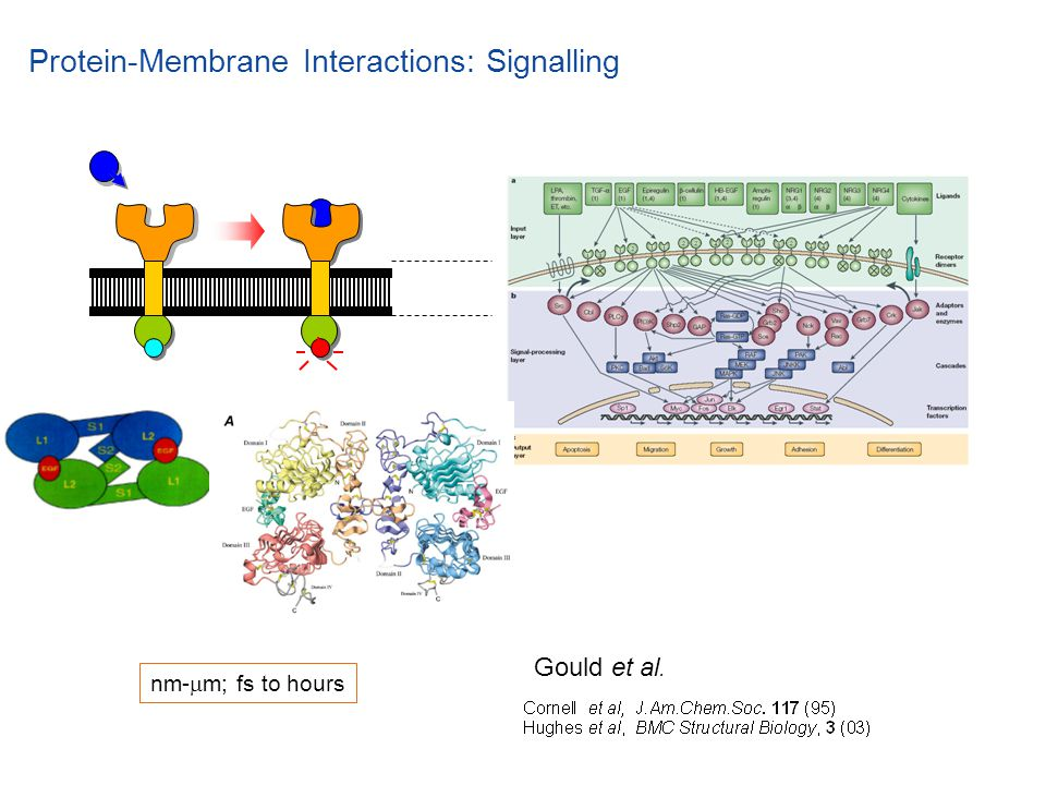 Protein-Membrane Interactions: Signalling Gould et al. nm-  m; fs to hours