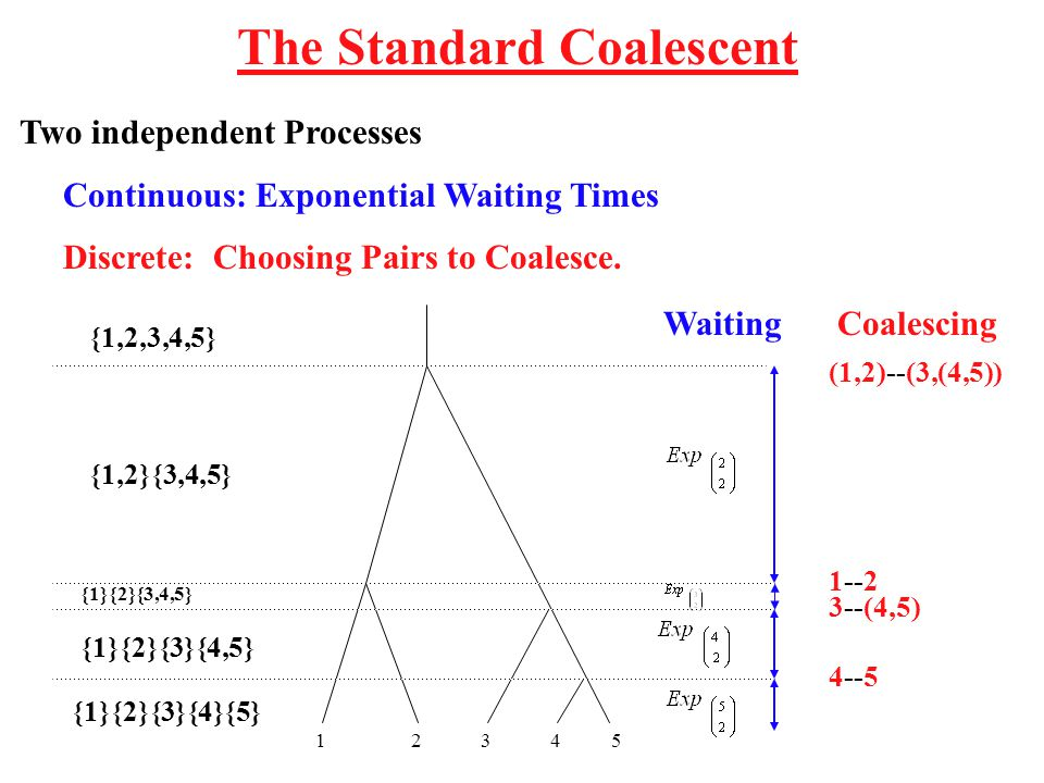 The Standard Coalescent Two independent Processes Continuous: Exponential Waiting Times Discrete: Choosing Pairs to Coalesce.
