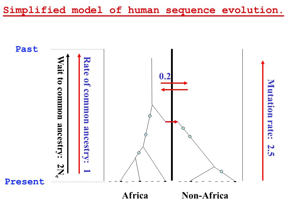 Africa Non-Africa 0.2 Mutation rate: 2.5 Rate of common ancestry: 1 Past Present Simplified model of human sequence evolution.