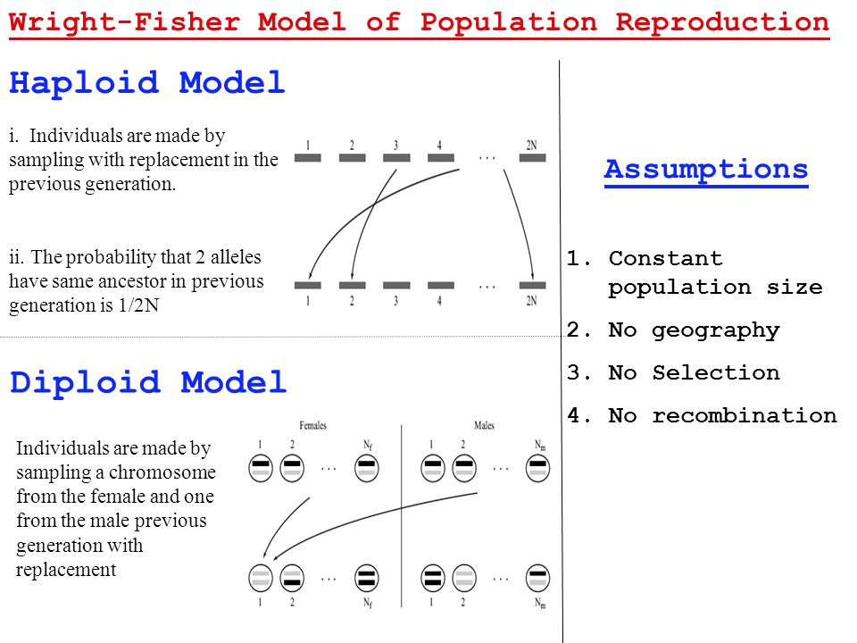 Haploid Model Diploid Model Wright-Fisher Model of Population Reproduction i.