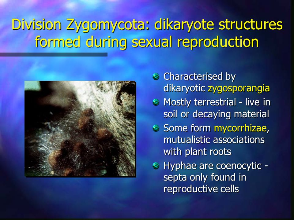 Division Zygomycota: dikaryote structures formed during sexual reproduction Characterised by dikaryotic zygosporangia Mostly terrestrial - live in soi