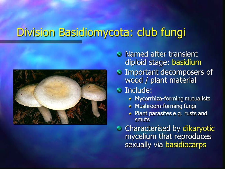 Division Basidiomycota: club fungi Named after transient diploid stage: basidium Important decomposers of wood / plant material Include: Mycorrhiza-fo