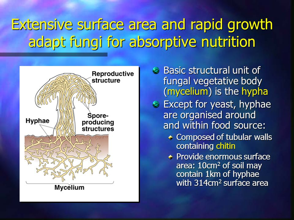 Extensive surface area and rapid growth adapt fungi for absorptive nutrition Basic structural unit of fungal vegetative body (mycelium) is the hypha E