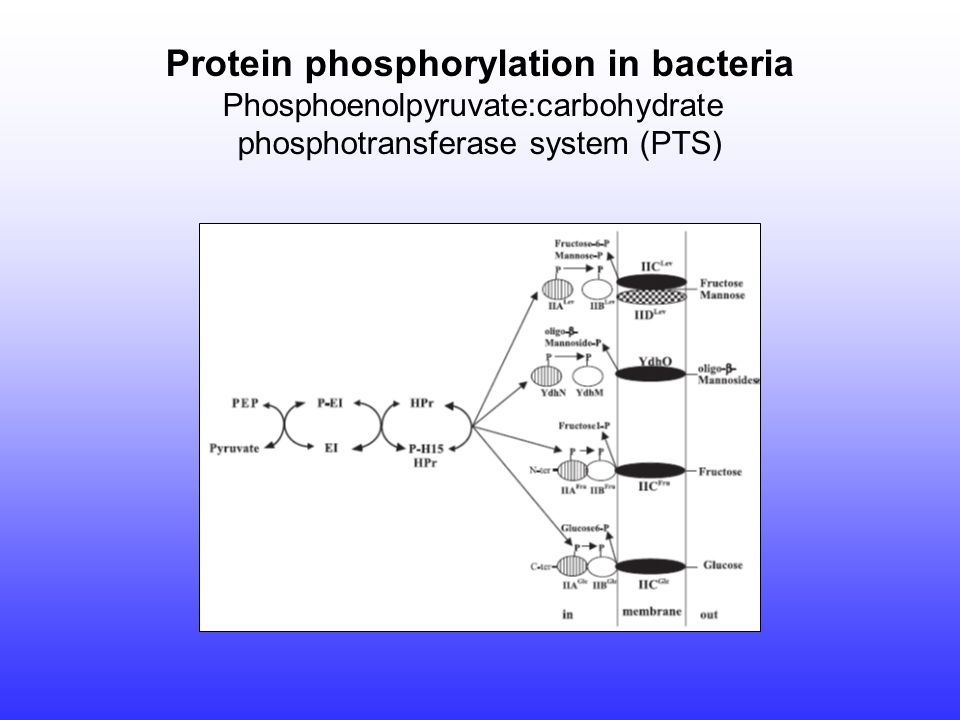 Protein phosphorylation in bacteria Phosphoenolpyruvate:carbohydrate phosphotransferase system (PTS)