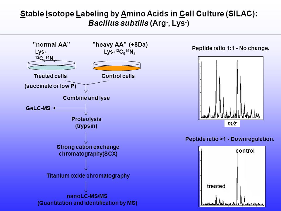 treated Peptide ratio >1 - Downregulation. Stable Isotope Labeling by Amino Acids in Cell Culture (SILAC): Bacillus subtilis (Arg -, Lys - ) control n