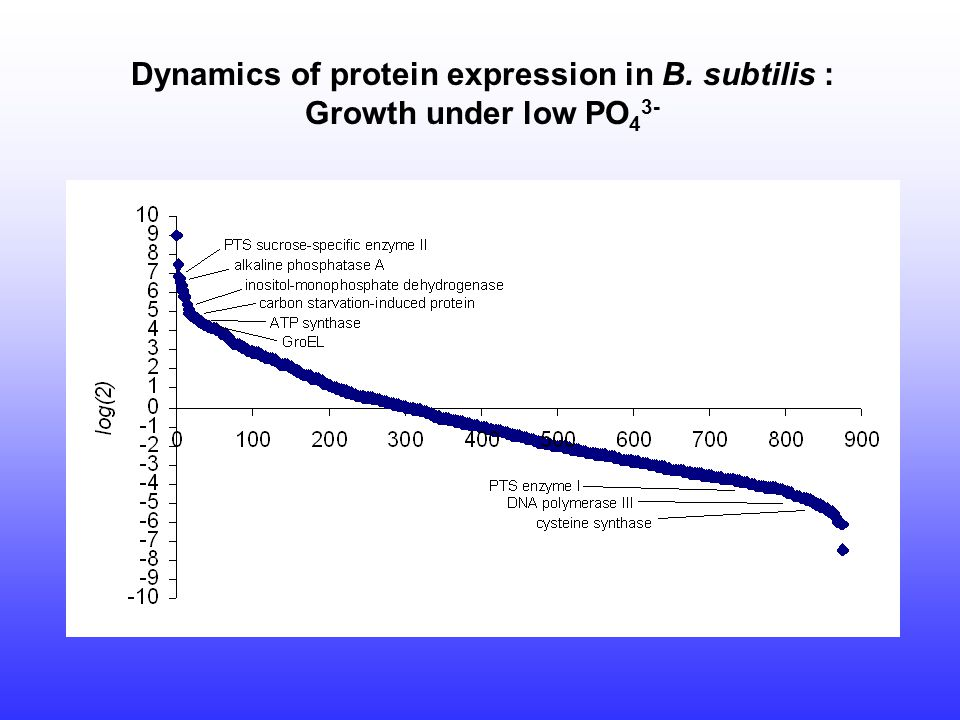 Dynamics of protein expression in B. subtilis : Growth under low PO 4 3-