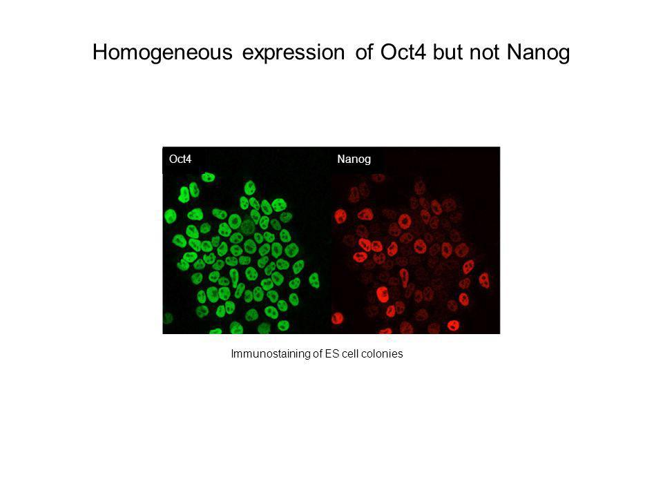 Homogeneous expression of Oct4 but not Nanog Oct4Nanog Immunostaining of ES cell colonies