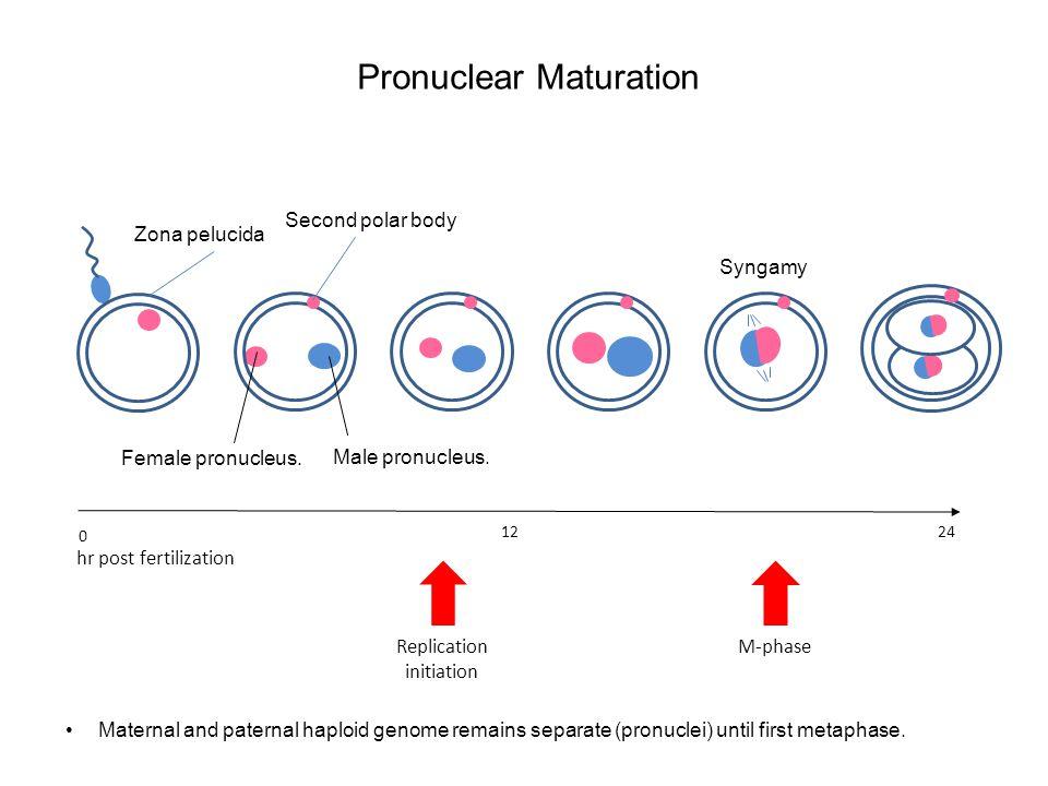 Pronuclear Maturation 12 24 Replication initiation M-phase hr post fertilization 0 Second polar body Zona pelucida Maternal and paternal haploid genom