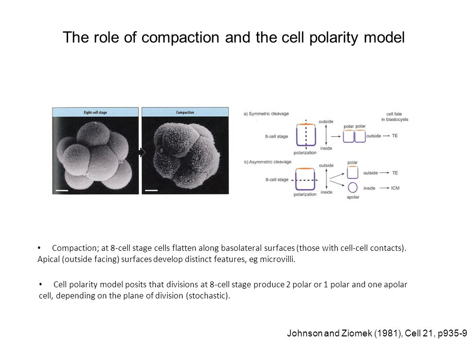 Cell polarity model posits that divisions at 8-cell stage produce 2 polar or 1 polar and one apolar cell, depending on the plane of division (stochast