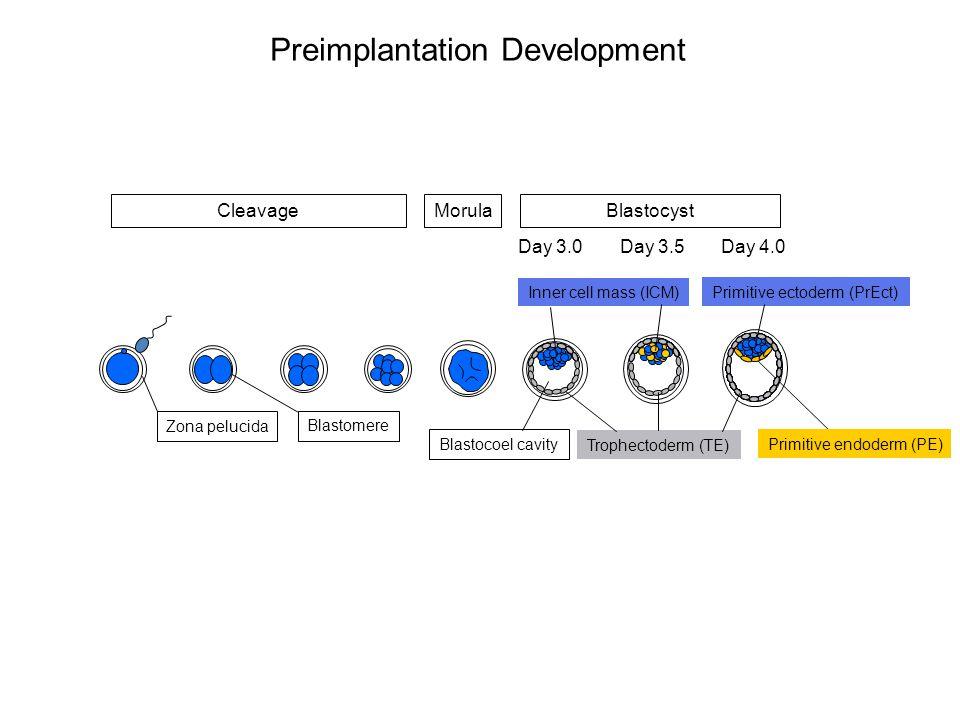 Preimplantation Development Trophectoderm (TE) Primitive endoderm (PE) Inner cell mass (ICM) Zona pelucida Blastocoel cavity Blastomere Primitive ectoderm (PrEct) Day 3.0Day 3.5Day 4.0 MorulaBlastocystCleavage