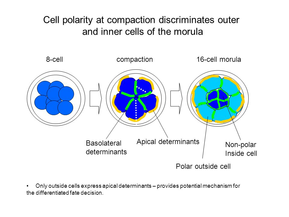 8-cellcompaction16-cell morula Apical determinants Basolateral determinants Polar outside cell Non-polar Inside cell Only outside cells express apical determinants – provides potential mechanism for the differentiated fate decision.
