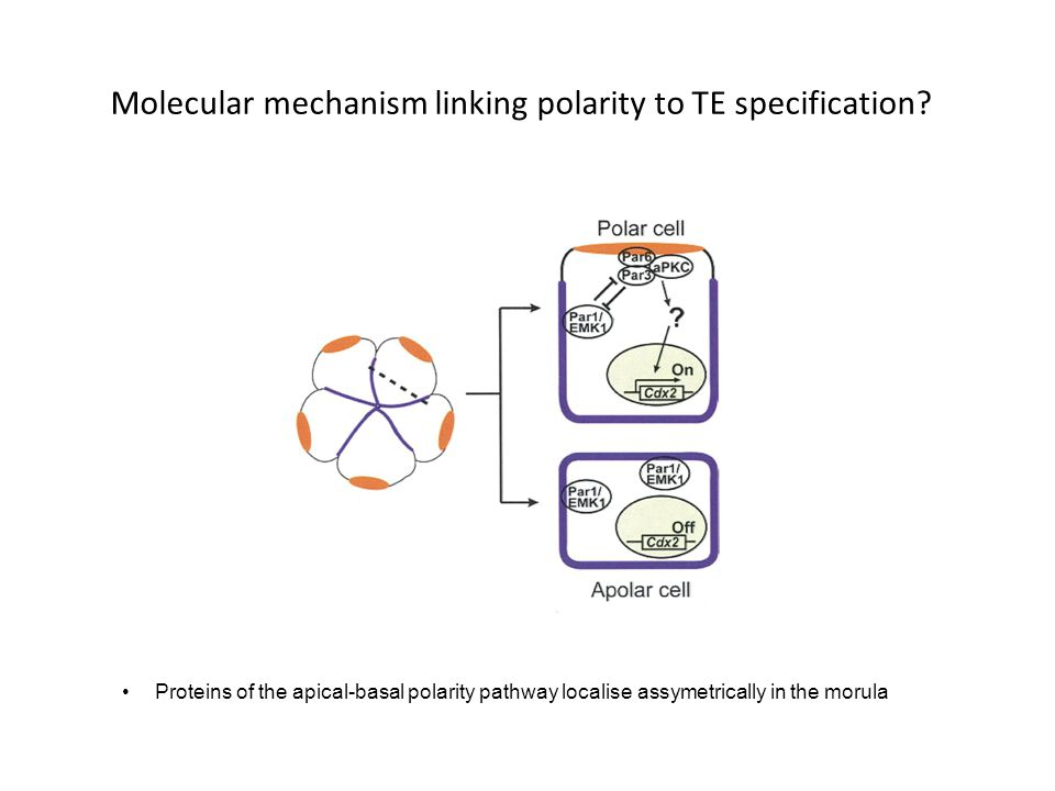 Molecular mechanism linking polarity to TE specification? Proteins of the apical-basal polarity pathway localise assymetrically in the morula