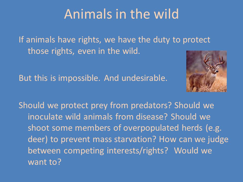 Animals in the wild If animals have rights, we have the duty to protect those rights, even in the wild.