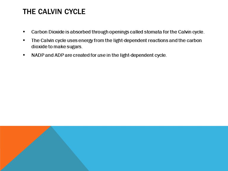 THE CALVIN CYCLE  Carbon Dioxide is absorbed through openings called stomata for the Calvin cycle.  The Calvin cycle uses energy from the light-depe