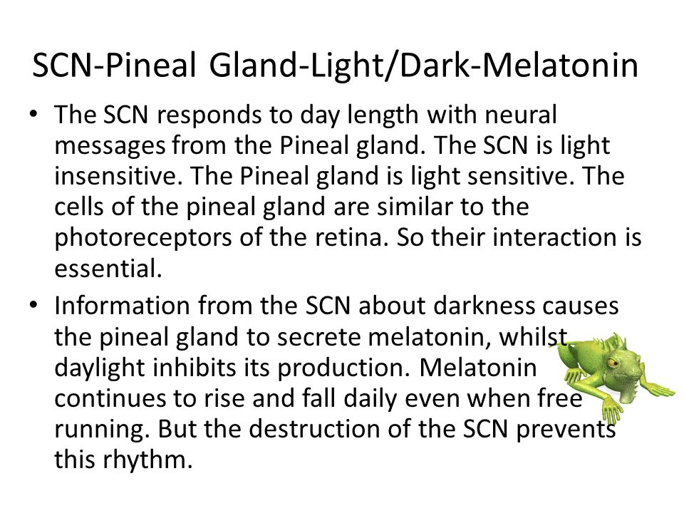 SCN-Pineal Gland-Light/Dark-Melatonin The SCN responds to day length with neural messages from the Pineal gland. The SCN is light insensitive. The Pin