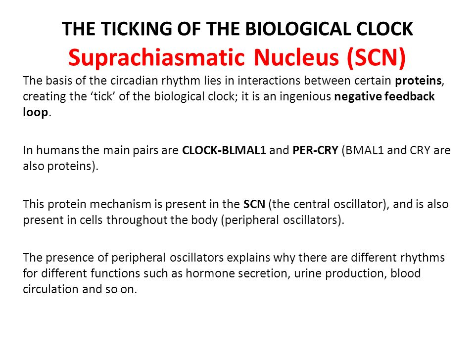 THE TICKING OF THE BIOLOGICAL CLOCK Suprachiasmatic Nucleus (SCN) The basis of the circadian rhythm lies in interactions between certain proteins, cre