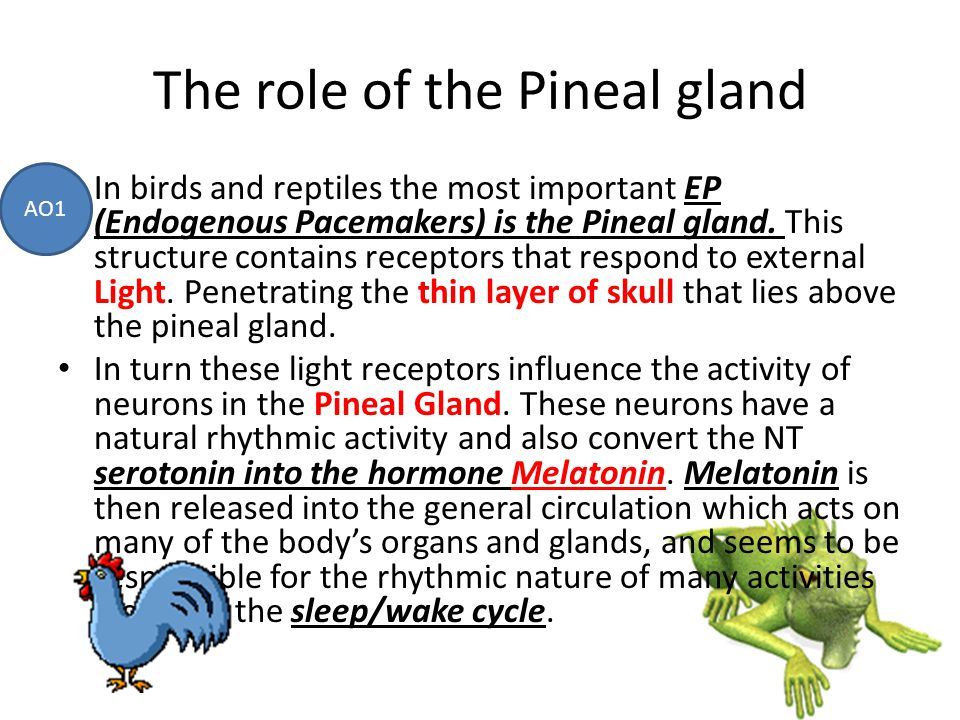 The role of the Pineal gland In birds and reptiles the most important EP (Endogenous Pacemakers) is the Pineal gland. This structure contains receptor