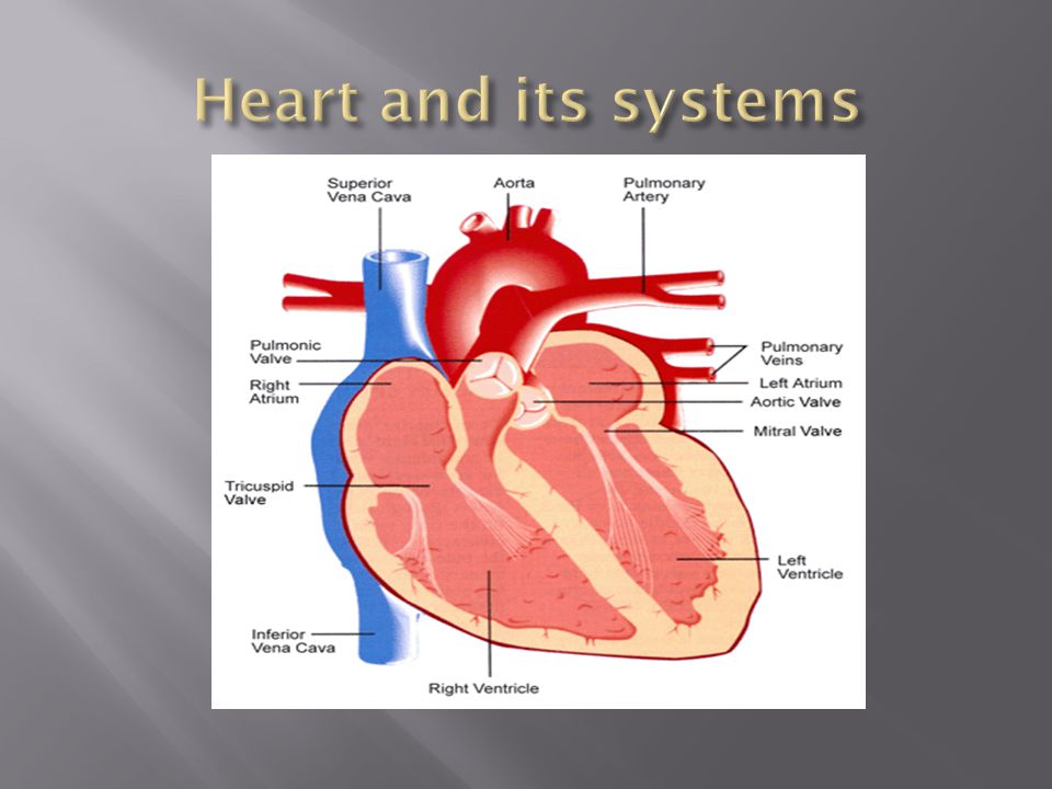  Blood with small or no amount of oxygen enter the right side of the heart through the superior vena cava.
