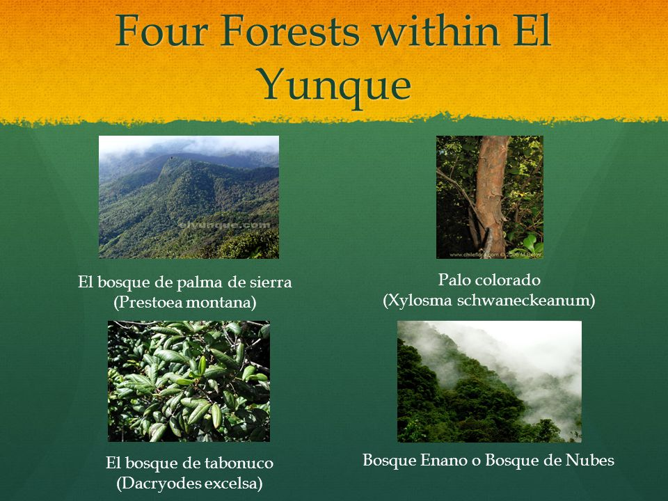 Four Forests within El Yunque Palo colorado (Xylosma schwaneckeanum) El bosque de palma de sierra (Prestoea montana) El bosque de tabonuco (Dacryodes excelsa) Bosque Enano o Bosque de Nubes