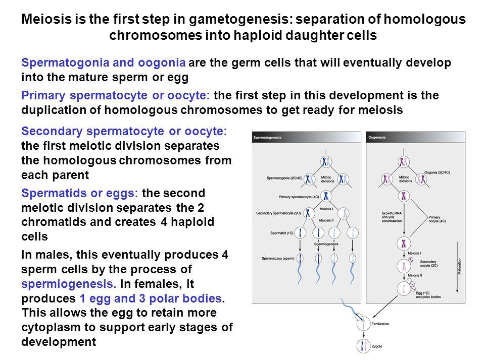Meiosis generates tremendous genetic diversity.
