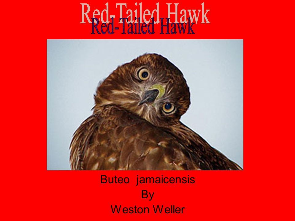 Red-Tailed Hawk Buteo jamaicensis By Weston Weller