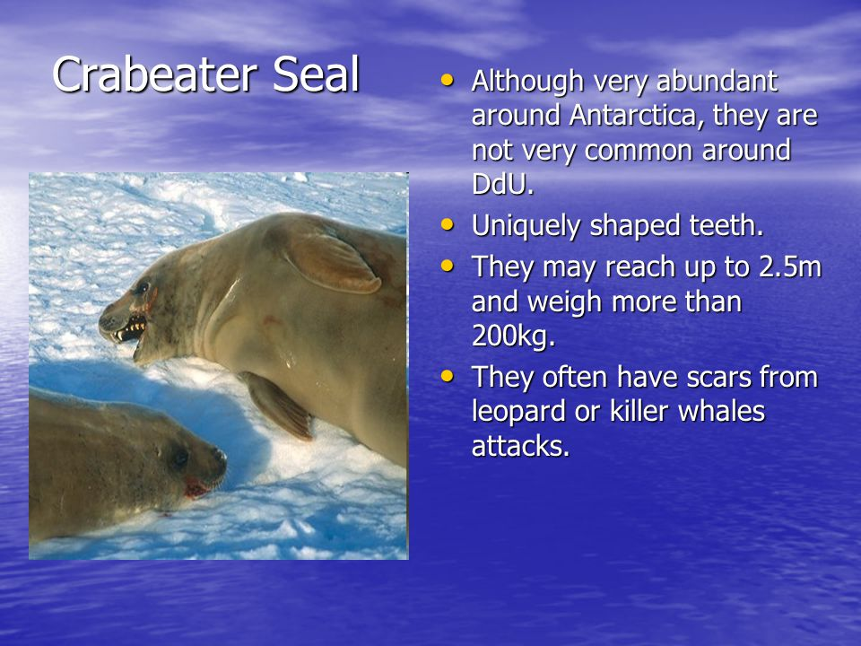 Crabeater Seal Although very abundant around Antarctica, they are not very common around DdU.