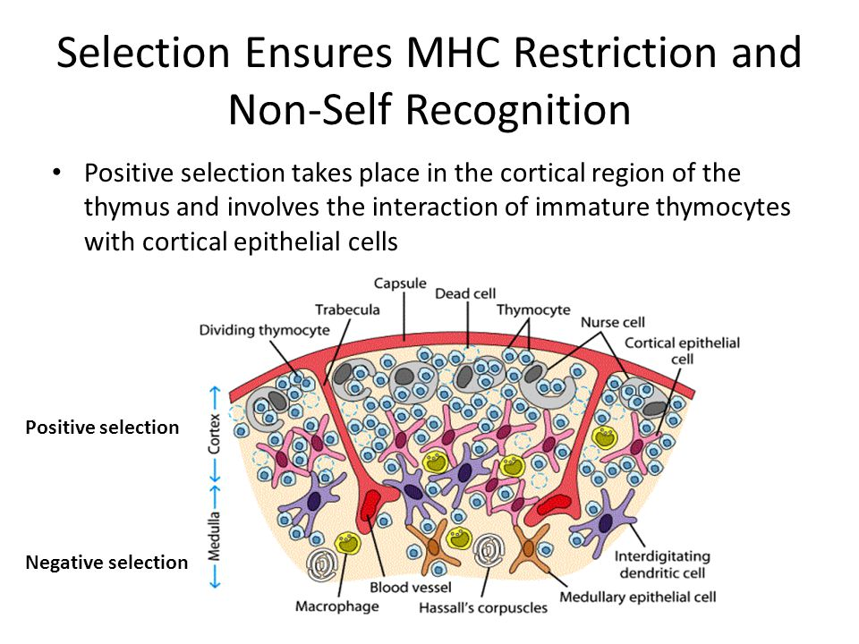 Selection Ensures MHC Restriction and Non-Self Recognition Positive selection takes place in the cortical region of the thymus and involves the intera