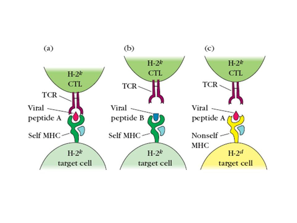 MHC class II CD8 and CD4 contact points on MHC class I and class II CD8 binding site MHC class I CD8 binding site