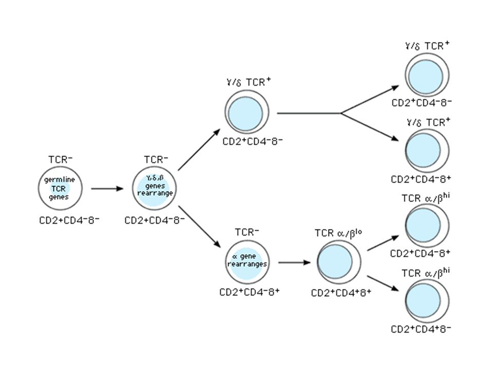 The T cell antigen receptor VV VV CC CC Carbohydrates Hinge Monovalent Resembles an Ig Fab fragment Fab VHVH VLVL Fc CLCL CHCH VLVL VHVH CHCH CLCL CHCH CHCH CHCH CHCH No alternative constant regions Transmembrane region Never secreted Domain structure: Ig gene superfamily Heterodimeric, chains are disuphide- bonded Cytoplasmic tail Very short intracytoplasmic tail + + + Positively charged amino acids in the TM region Antigen combining site Antigen combining site made of juxtaposed V  and V  regions 30,000 identical specificity TcR per cell
