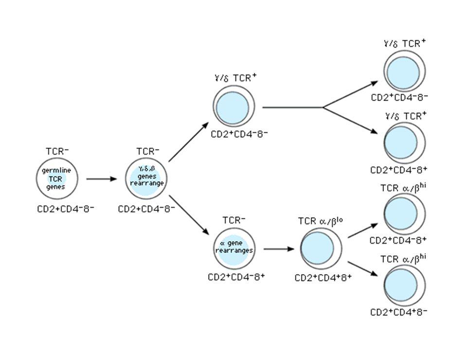 V2 V3 V4 V8 V7 V6 V5 V9 7 23 9 CACAGTG GTGTCAC 7 12 9 GTGACAC CACTGTG V TC AG U DJ AT TA U Heptamers are ligated by DNA ligase IV V and D regions juxtaposed V TC AG U DJ AT TA U