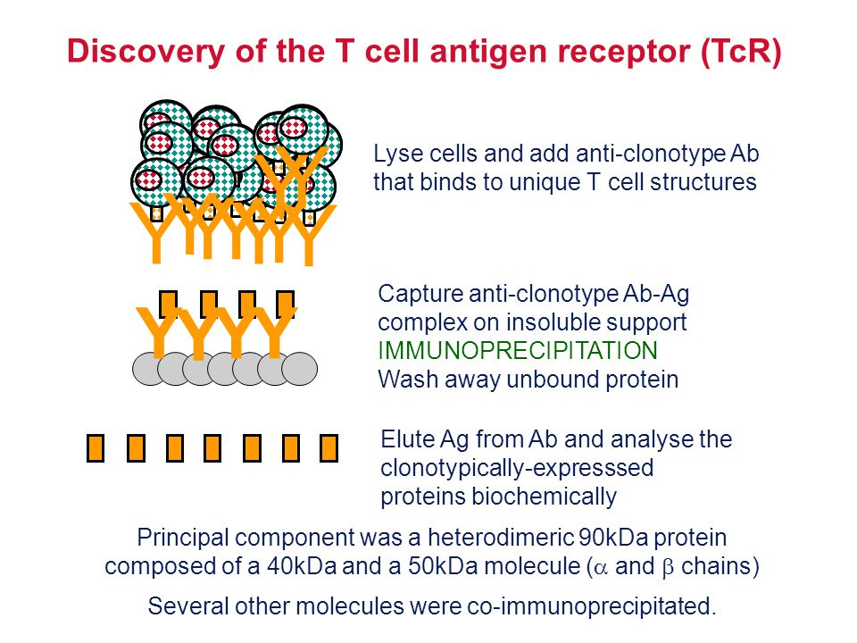 Structure of the TcR polypeptides Cyanogen bromide digestion of the  and  proteins Biochemical analysis of digestion products T cell clone AT cell clone BT cell clone C Polypeptides contain a variable, clone-dependent pattern of digestion fragments and a fragment common to all TcR Intact TcR chain polypeptides CCCVVV