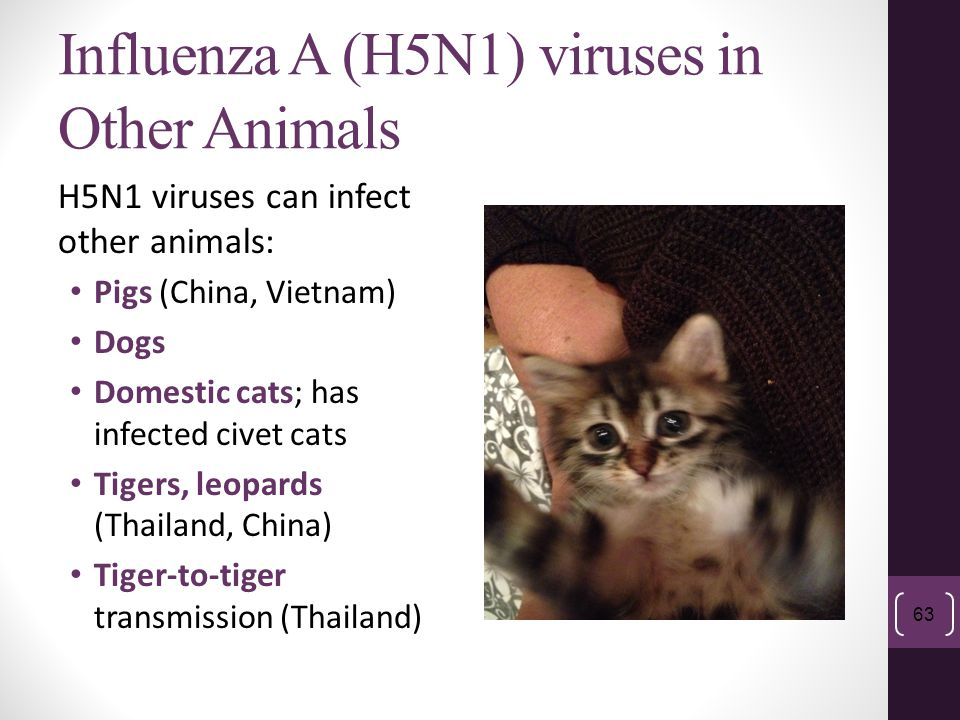 Influenza A (H5N1) viruses in Other Animals H5N1 viruses can infect other animals: Pigs (China, Vietnam) Dogs Domestic cats; has infected civet cats T